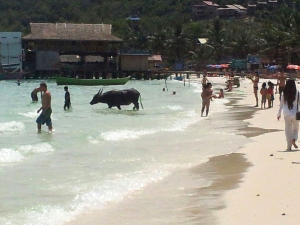 Búfalo de agua en la playa