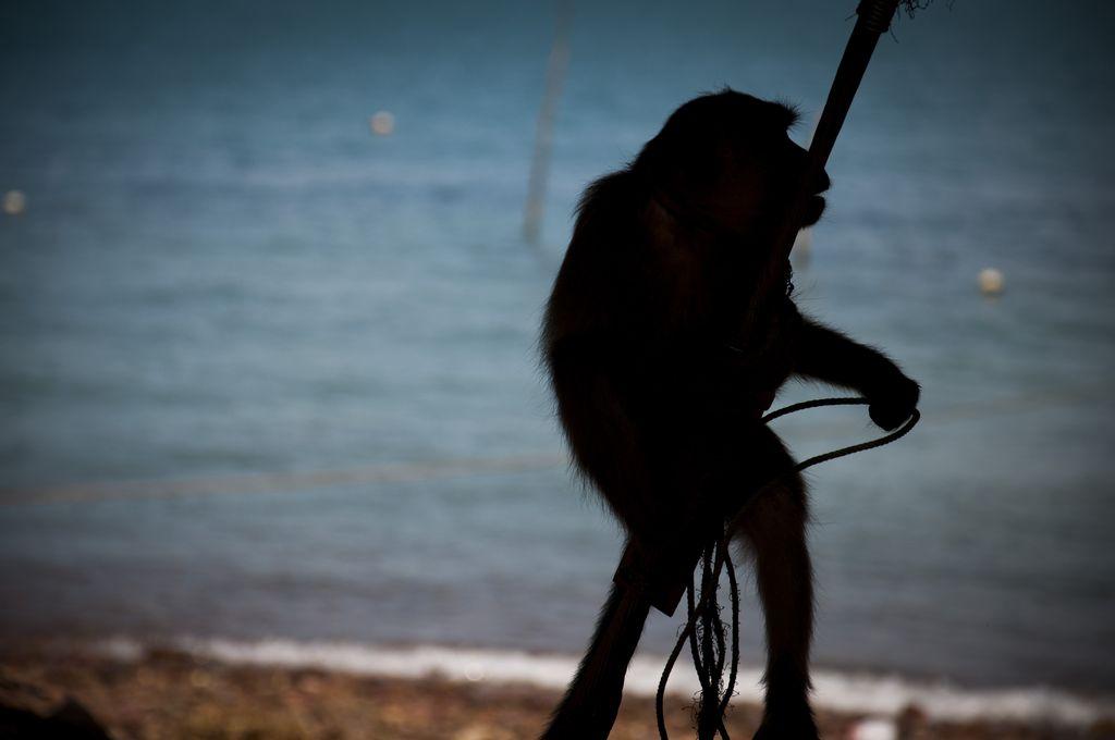 Mono en el poblado de gitanos del mar