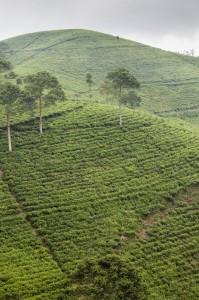 campos de té de camino a Candi Cetho