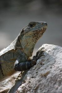 Iguana en las ruinas de Tulum 2