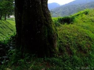 Cerca de la plantación de té Boh