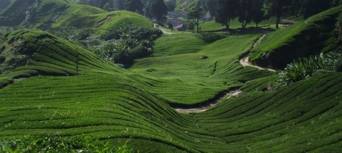 Cameron Highlands, verde que te quiero verde